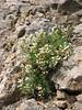 Thlaspi cf. kurdicum (Iran, Azarbayjan-e-Gharbi, pass 2600m NE of Qaravo (33)