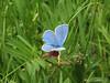 Polyommatus icaris (NL: icarisblauwtje)(Iran, Azarbayjan-e-Gharbi, near Kani Bagh 2600m, 30 km NE of Piranshahr (26)