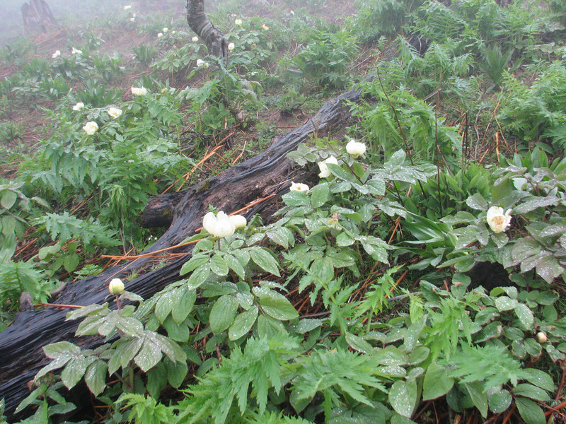 Paeonia wittmaniana (syn. P. tomentosa)(Iran, Gilan, Tales mountains, pass, SW of Asalem 2030-2380m (7)