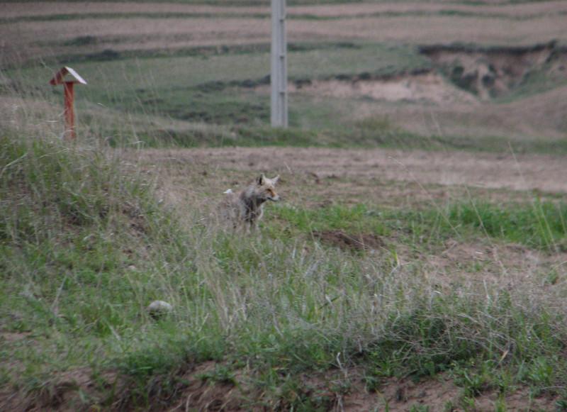 Vulpes vulpes, Red Fox (Iran, Azarbayjan-e-Gharqi, mountains NW of Kharvanaq (19)