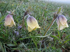 Pulsatilla albana (Iran, Gilan, Tales mountains, pass, SW of Asalem 2030-2380m (7)