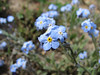 Myosotis spec. Iran, Gilan, Elburz mountains, pass, SE of Masuleh 2200m (6)