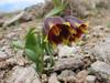 Fritillaria crassifolia ssp. kurdica (Iran, Azarbayjan-e-Gharqi, Sahand mountains)(20)