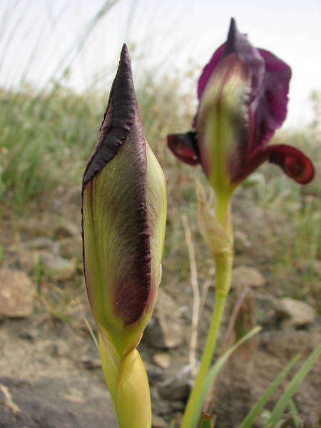 bud of Iris barnumae in bud (Iran, Azarbayjan-e-Gharqi, mountains near ,border of Orumieh saltlake, 8km S of Ag Gonbad 1410m)(21)