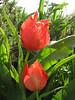 Tulipa spec. aff. systola (67,9 PG)(Iran, Azarbayjan-e-Gharbi, pass 2300m Ziveh-Kaveh near border Turkey - Iraq)(23)