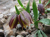 Fritillaria crassifolia ssp. kurdica (twisted leafs and stony habitat)(Iran, Azarbayjan-e-Gharbi, pass 2600m NE of Qaravo (33)