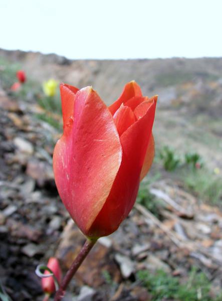 Tulipa montana (Iran, Tehran, Elburz mountains, Dizin pass 3234m (2)