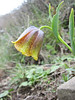 Fritillaria crassifolia ssp. kurdica (syn. F.karadagensis/F.grosheimii)(Iran, Azarbayjan-e-Gharqi, mountains near the Kalan pass 2100m, 30km N of Kalibar (15)