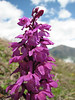 Orchis pinetorum (Iran, Gilan, Elburz mountains, SE of Masuleh (5) (photoKJ)