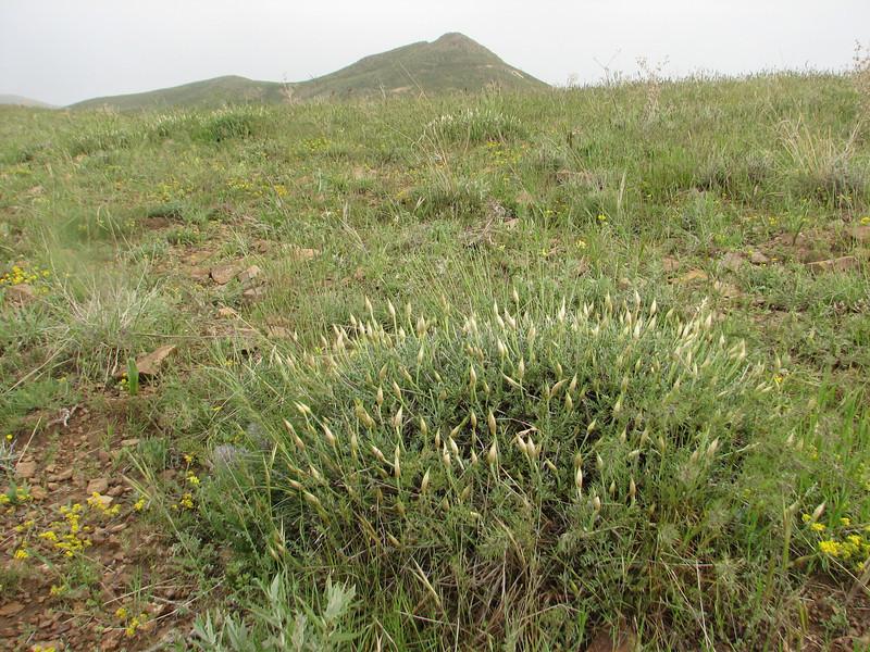 Astragalus spec. (Iran, Azarbayjan-e-Gharbi, Galijeh, between Mahabad - Bukan)
