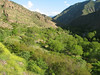 Jasminium fruticans (Iran, Azarbayjan-e-Gharqi, mountains NE of Mardanqayem, border Iran-Armenia (16)