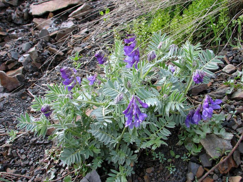 Vicia villosa (Iran, Tehran, Elburz mountains, Dizin pass 3234m (2)