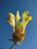 Scutellaria cf. pinnatifida (syn. S. orientalis ssp. pinnatifida)(Iran, Azarbayjan-e-Gharqi, mountains NE of Mardanqayem, border Iran-Armenia (16)
