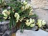 Astragalus cf. globosus, Iran, Gilan, Elburz mountains, pass, SE of Masuleh 2200m (6)