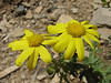 Senecio glaucus, Iran, Gilan, Elburz mountains, pass, SE of Masuleh 2200m (6)