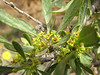 Rhamnus pallasii ssp. pallasii var. iranica (Iran, Azarbayjan-e-Gharbi, 5km SW of Shahin Dezh 1700-1800m (29)