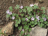 Malva neglecta (Iran, Azarbayjan-e-Gharqi, mountains between Ahar and Meshgin Shahr (11)