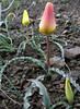 Tulipa montana (Iran, Tehran, Elburz mountains, Fasham pass 2800m (1)