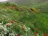 (Iran, Azarbayjan-e-Gharbi, near Kani Bagh 2600m, 30 km NE of Piranshahr (26)