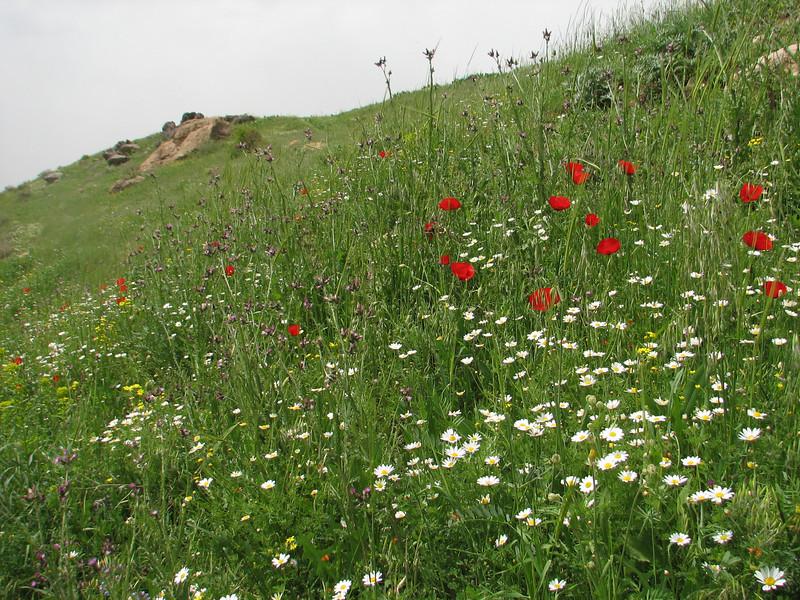 habitat of many wild plants (Iran, Azarbayjan-e-Gharbi, near Kani Bagh 2600m, 30 km NE of Piranshahr (26)