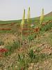 Eremurus spectabilis and Glaucium corniculatum ssp. corniculatum (Iran, Azarbayjan-e-Gharbi, 22km SE of Shahin Dezh (30)