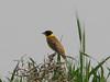 Emberiza melanocephala (NL: zwartkopgors)(Iran, Azarbayjan-e-Gharbi, 5km SW of Shahin Dezh 1700-1800m (29)