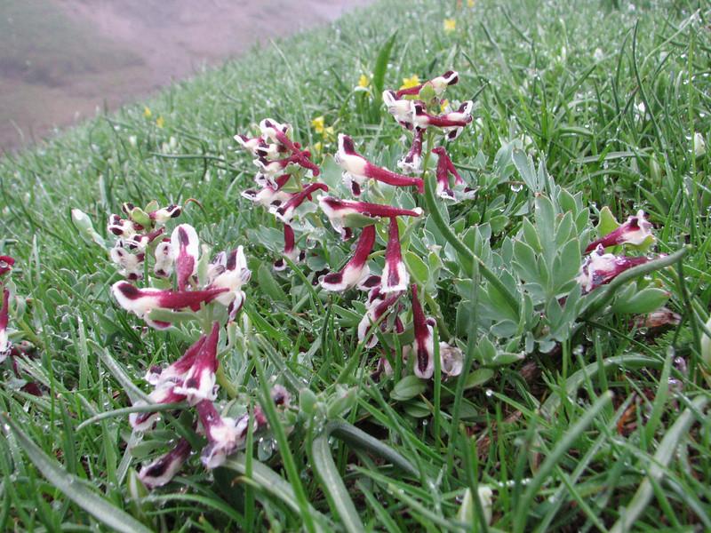 Corydalis verticillaris ssp. boisseri(Iran, Gilan, Tales mountains, pass, SW of Asalem 2030-2380m (7)