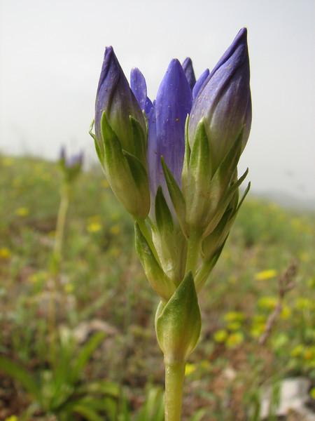 Gentiana olivieri  (Iran, Azarbayjan-e-Gharbi, 15km SW of Shahin Dezh(28)