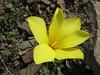 Tulipa montana var. chrysantha (Iran, Tehran, Elburz mountains, Fasham pass 2800m (1)