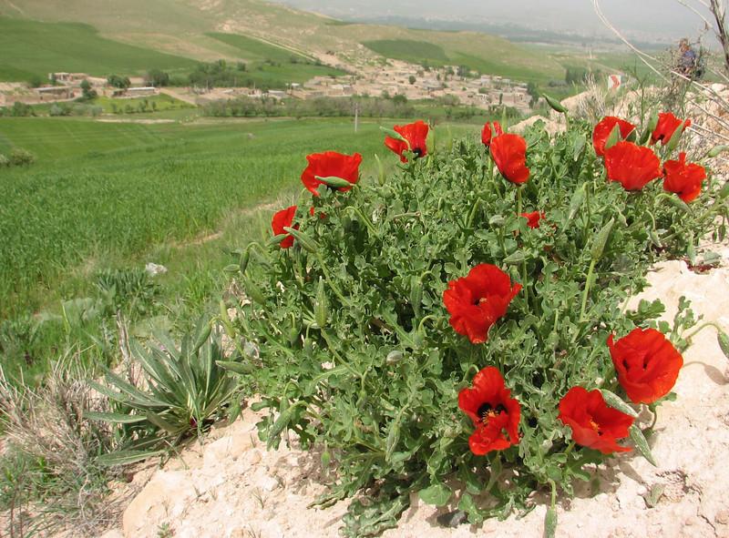 Glaucium corniculatum ssp. corniculatum (Iran, Azarbayjan-e-Gharbi, 5km SW of Shahin Dezh 1700-1800m (29)