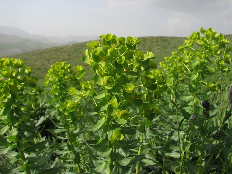 Euphorbia spec. (Iran, Azarbayjan-e-Gharbi, pass 2300m Ziveh-Kaveh near border Turkey - Iraq)(23)