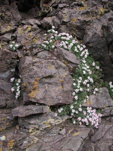 Androsace villosa (Iran, Ardabil, Kuh-e-Sabalan mountains S of Lahrud, 2600m vulcanic (10)