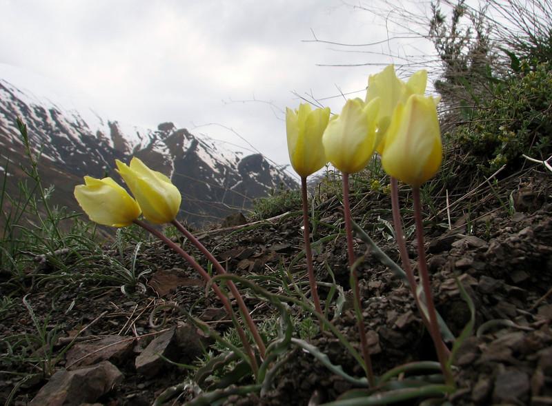 Tulipa montana var. chrysantha (Iran, Tehran, Elburz mountains, Dizin pass 3234m (2)