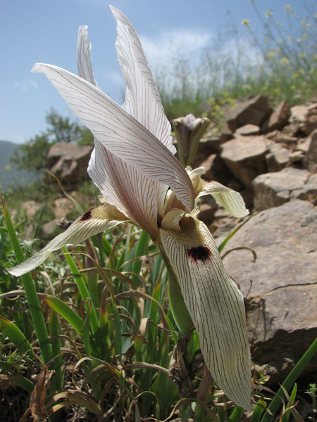 Iris acutiloba ssp. longitepala (Iran, Zanjan, Sendan mountains, pass 2200m near Khanchay, 30km NE of Bonab (38)