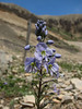 Veronica gentianoides Iran, Gilan, Elburz mountains, pass, SE of Masuleh 2200m (6)