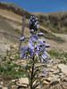 Veronica gentianoides Iran, Gilan, Elburz mountains, pass, SE of Masuleh 2200m (6)