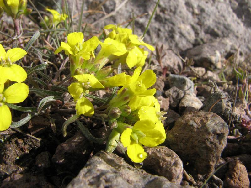 Erysimum spec. (Iran, Ardabil, Kuh-e-Sabalan mountains S of Lahrud, 2600m vulcanic (10)