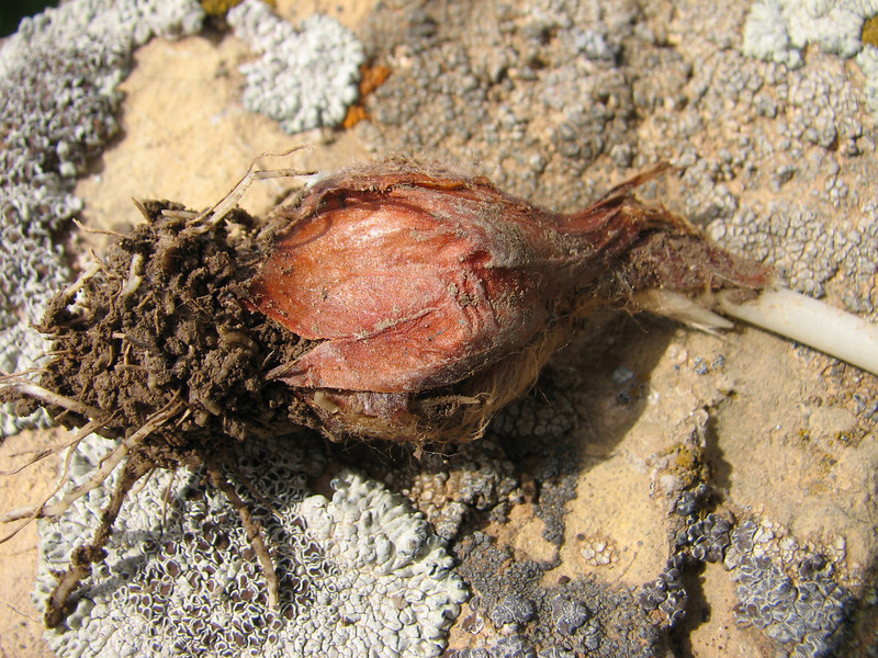 bulb of Tulipa spec. aff. systola (67,9 PG)(only for determination purposes)(Iran, Azarbayjan-e-Gharbi, pass 2300m Ziveh-Kaveh near border Turkey - Iraq)(23)