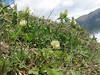 Trifolium canescens (syn. T. hohenackeri), Iran, Gilan, Elburz mountains, SE of Masuleh (5)