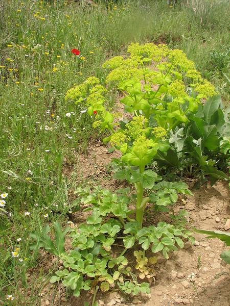 Smyrnium cordifolium (Iran, Azarbayjan-e-Gharbi, near Kani Bagh 2600m, 30 km NE of Piranshahr (26)