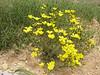 Linum mucronatum (Iran, Azarbayjan-e-Gharbi, 5km SW of Shahin Dezh 1700-1800m (29)