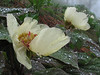 Paeonia wittmaniana (syn. P. tomentosa)(Iran, Gilan, Tales mountains, pass, SW of Asalem 2030-2380m (7)