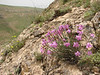 Dianthus orientalis ssp. stenocalyx (Iran, Azarbayjan-e-Gharbi, 5km SW of Shahin Dezh 1700-1800m (29)