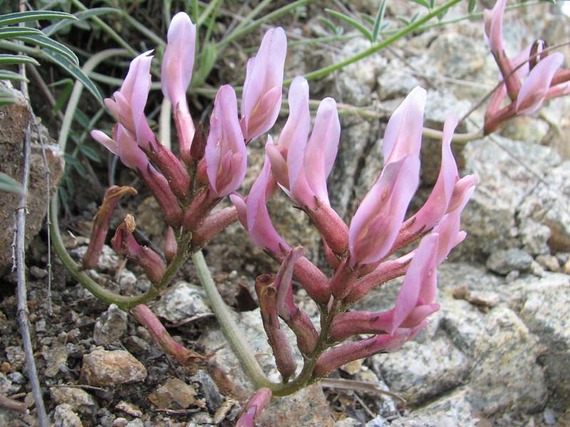 Astragalus cf. suberosus