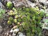 Sempervivum atropatanum  (Iran, Azarbayjan-e-Gharqi, mountains NE of Kalibar 1900m (14)