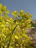 Alyssum cf. peltarioides ssp. virgatiforme (Iran, Azarbayjan-e-Gharbi, pass 2300m Ziveh-Kaveh near border Turkey - Iraq)(23)