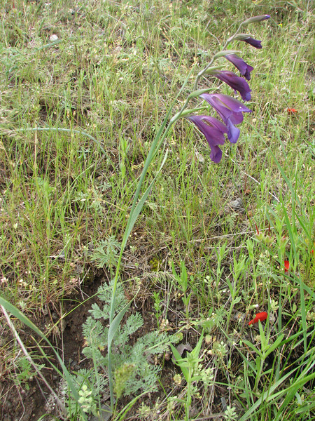 Gladiolus atroviolaceus (Iran, Ardabil, mountains between Khalkhal and Kivi (8)