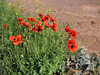 Papaver spec. along the river Rud-e-Aras (Iran, Azarbayjan-e-Gharqi, mountains NE of Mardanqayem, border Iran-Armenia (16)