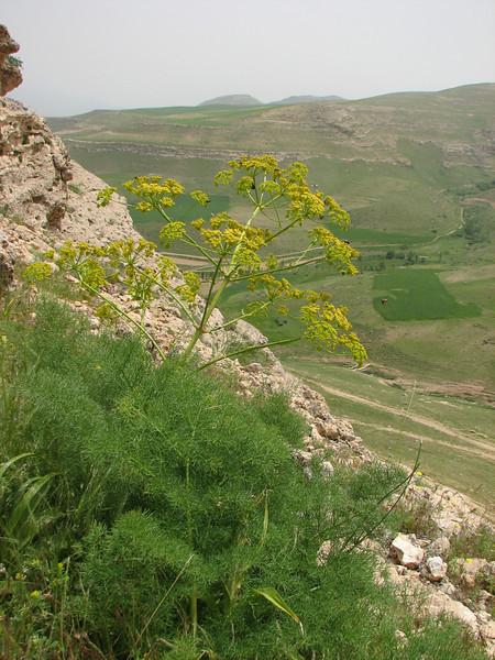 Prangos ferulacea (Iran, Azarbayjan-e-Gharbi, 5km SW of Shahin Dezh 1700-1800m (29)