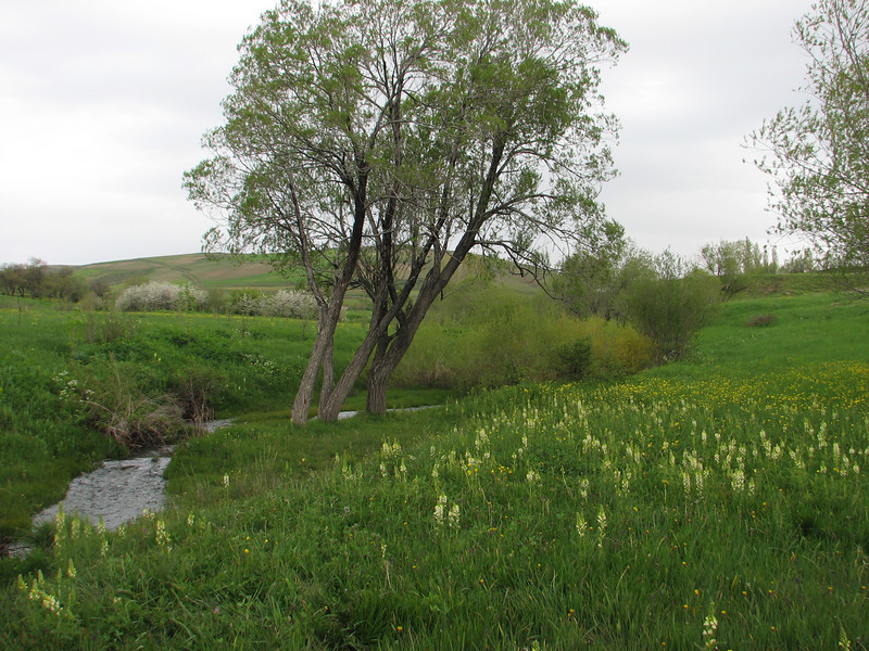 habitat of Dactylorhiza umbrosa and Pedicularis condensata (Iran, Kurdistan, near Choplu 1700m (31)